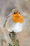 Europese Robin (rubecula Erithacus) Royalty-vrije Stock Foto's