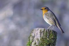 Europese Robin streek op boomboomstam neer stock afbeelding