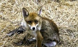 Europese rode die vos in mijn tuin wordt bevlekt - Londen, het Verenigd Koninkrijk stock foto's