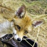 Europese rode die vos in mijn tuin wordt bevlekt - Londen, het Verenigd Koninkrijk royalty-vrije stock foto's