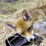 Europese rode die vos in mijn tuin wordt bevlekt - Londen, het Verenigd Koninkrijk royalty-vrije stock foto