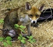 Europese rode die vos in mijn tuin wordt bevlekt - Londen, het Verenigd Koninkrijk royalty-vrije stock fotografie
