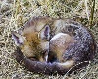 Europese rode die vos in mijn tuin wordt bevlekt - Londen, het Verenigd Koninkrijk stock afbeeldingen