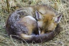 Europese rode die vos in mijn tuin wordt bevlekt - Londen, het Verenigd Koninkrijk royalty-vrije stock afbeeldingen