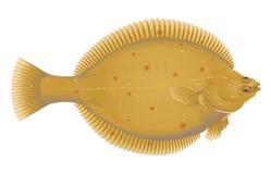 Europese Scholvissen vector illustratie