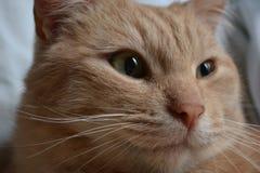 Europese Shorthair-kat Stock Foto