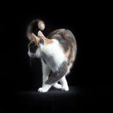 Europese Shorthair-kat op zwarte achtergrond Stock Foto