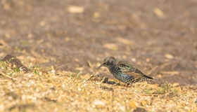 Europese Starling royalty-vrije stock afbeelding