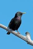 Europese Starling Stock Afbeeldingen