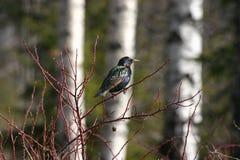 Europese Starling Royalty-vrije Stock Fotografie