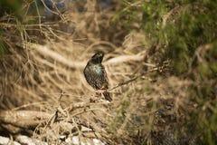 Europese Starlings Royalty-vrije Stock Foto