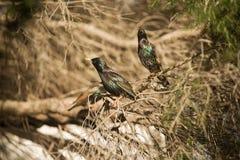 Europese Starlings Stock Foto