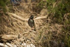 Europese Starlings Stock Foto's