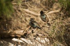 Europese Starlings Royalty-vrije Stock Fotografie