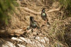 Europese Starlings Royalty-vrije Stock Afbeelding