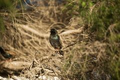 Europese Starlings Stock Afbeelding