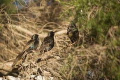 Europese Starlings Royalty-vrije Stock Afbeeldingen