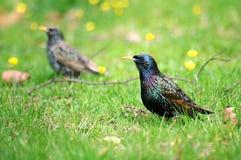 Europese Starlings in gras Royalty-vrije Stock Foto's