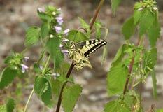 Europese swallowtail op hondsdrafbloem royalty-vrije stock afbeeldingen