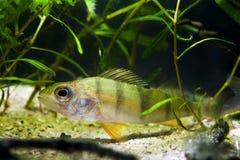Europese toppositie, coldwater roofdiervissen, Perca-fluviatilis, die in installaties in gematigd de biotoopaquarium van de rivie stock foto
