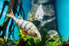 Europese toppositie, gestreepte vleesetende vissen in zoetwateraquarium stock foto's