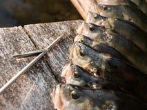 Europese toppositie spearfishing vangst stock fotografie