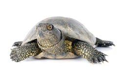 Europese vijverschildpad Stock Foto's