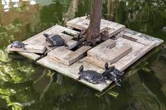 Europese vijverschildpad die op een platform rusten Stock Afbeeldingen