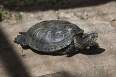 Europese vijverschildpad (Emys-orbicularis) Stock Fotografie