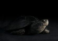 Europese vijverschildpad, Zuiden Ural Stock Afbeeldingen