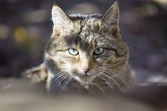 Europese Wilde Kat, Felis-silvestris stock afbeelding