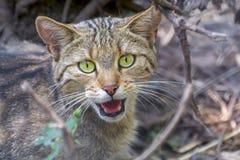 Europese wilde kat (Felis-silvestrissilvestris) Royalty-vrije Stock Foto's