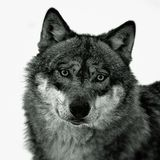 Europese Wolf stock foto's