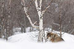 Europese wolf Stock Afbeeldingen