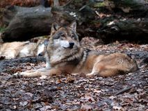 Europese wolf - Canis-wolfszweerwolfszweer royalty-vrije stock foto's