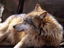 Europese wolf - Canis wolfszweerwolfszweer Stock Afbeeldingen