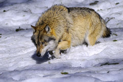 Europese Wolf in Duitsland Royalty-vrije Stock Afbeeldingen