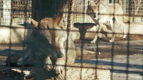 Europese wolfswas in de wolfszweer van dierentuinñ anis  stock video