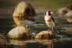 Europese zangvogel op de rots dichtbij waterrivier, dierlijke vogel op rots royalty-vrije stock fotografie