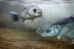 Europese Zeebaars (Dicentrarchus labrax) Stock Afbeelding
