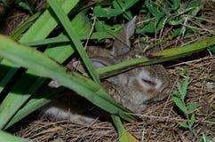 Europese zieke cuniculus van konijnoryctolagus stock fotografie