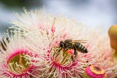 Europeu Honey Bee Feeding em flores cor-de-rosa brilhantes do eucalipto, Sunbury, Victoria, Austrália, em outubro de 2017 fotografia de stock