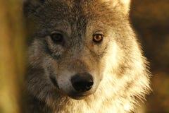 Europeu, retratos do lobo de madeira fotografia de stock
