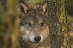 Europeu, retratos do lobo de madeira fotografia de stock royalty free