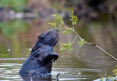 Free Europian Beaver Male Who Feeds At Evening Stock Images - 115904294