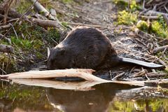 Europian Beaver male who feeds at evening. Wild beaver in a small lake in deep forest inside stock images