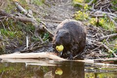 Europian Beaver male who feeds at evening. Wild beaver in a small lake in deep forest inside royalty free stock image