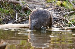 Europian Beaver male who feeds at evening. Wild beaver in a small lake in deep forest inside royalty free stock images