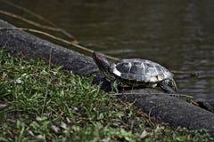 europian flodsköldpadda Arkivfoto