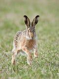 Europäische Hasen (Lepus europaeus) Lizenzfreie Stockfotografie